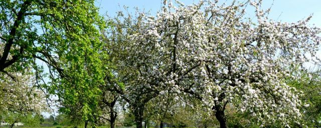 Orchard and apple blossom