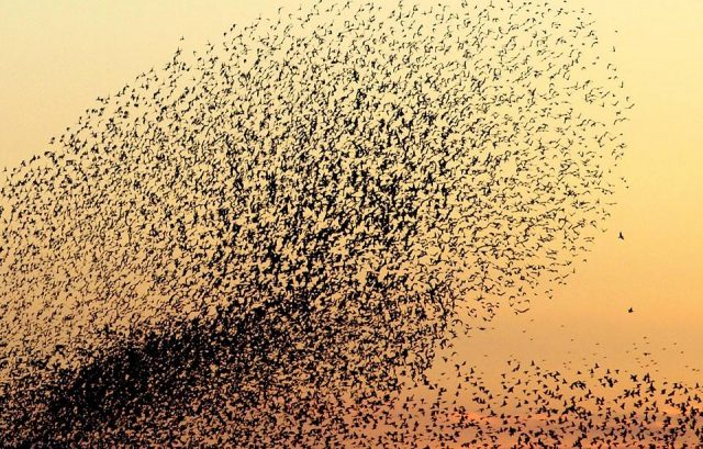 Starlings murmurating against orange sunset