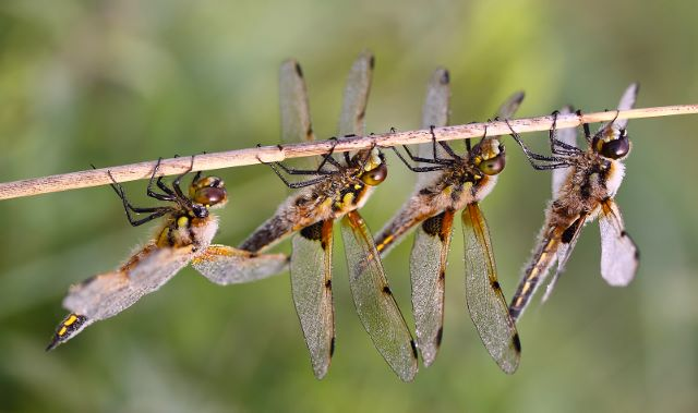 4 Spotted Chasers
