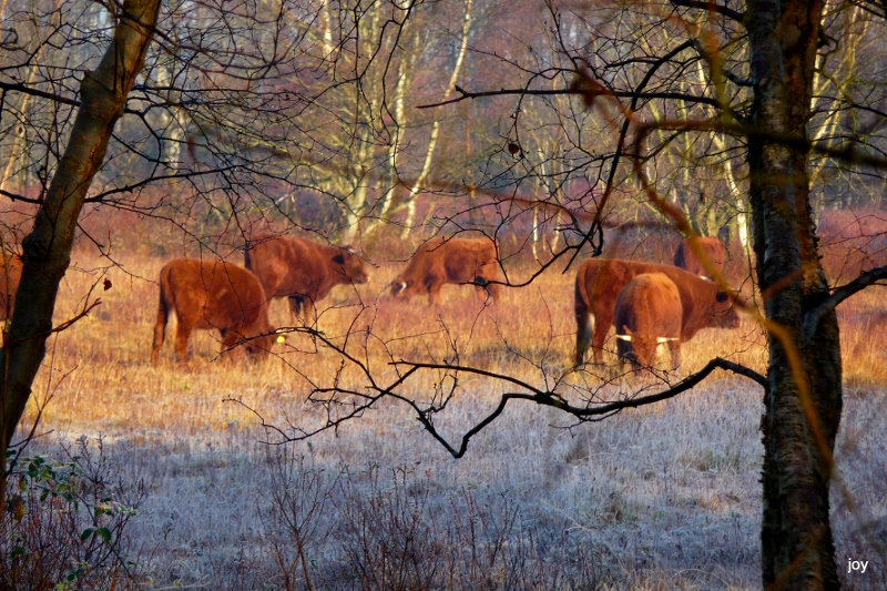 Cattle grazing in woodland