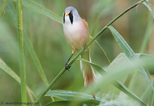 Bearded Tit / Reedling