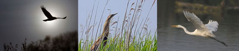 Marsh Harrier Bittern in reeds and Great White Egret,