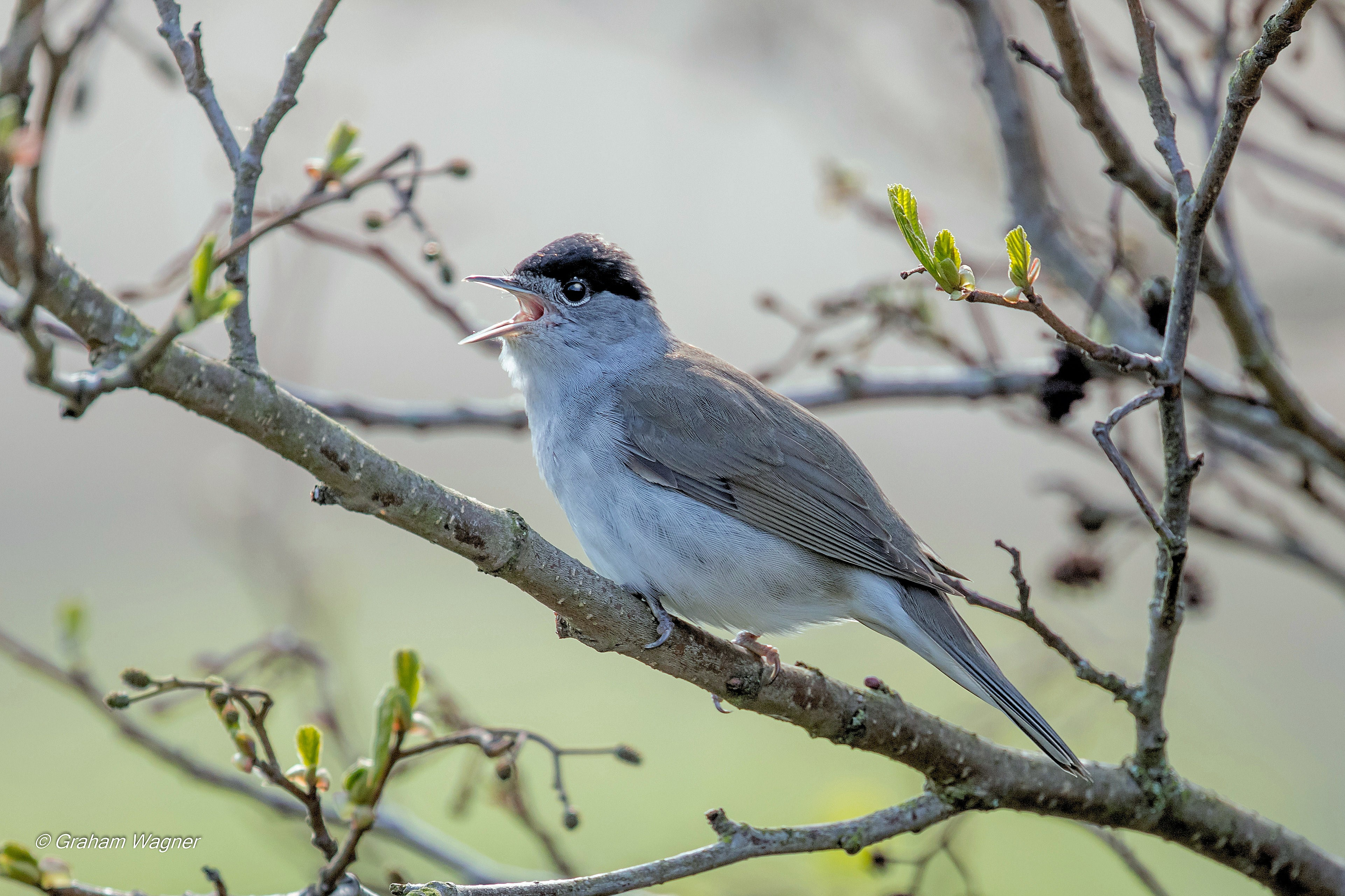 Blackcap sitting on a high branch, singing