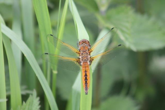Dragonfly on reeds