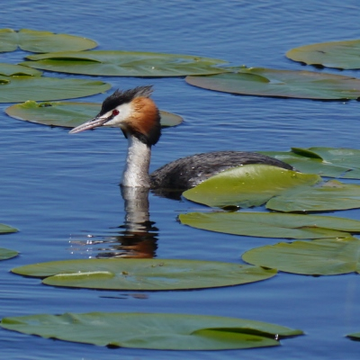 Great Crested Grebe in Water Lilies