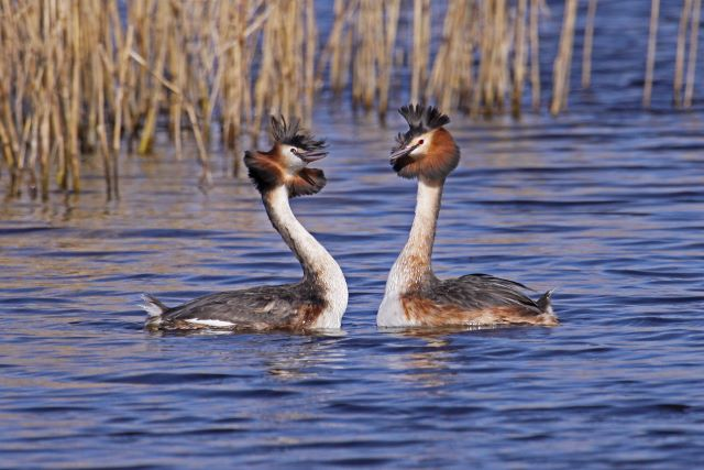 Great Crested Grebes Performing