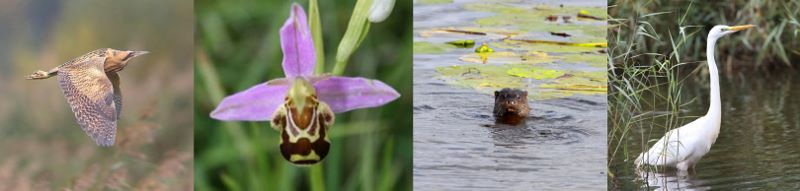 Bittern, Bee Orchid, Otter and great White Egret