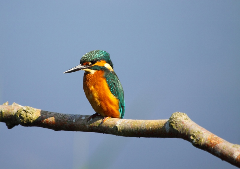 Kingfisher on branch