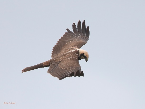 Female Marsh Harrier in flight