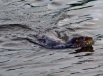 Otter swimming