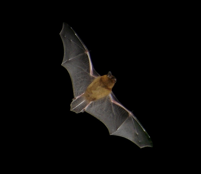 European common pipistrelle bat in flight
