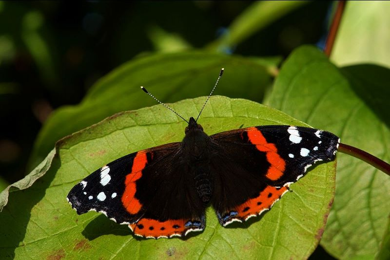 Red Admiral Butterfly – Avalon Marshes