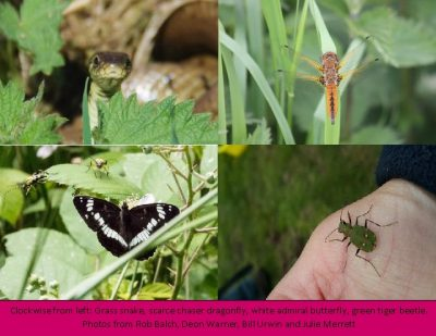 Clockwise from left: Grass snake, scarce chaser dragonfly, white admiral butterfly, green tiger beetle.  Photos from Rob Balch, Deon Warner, Bill Urwin and Julie Merrett