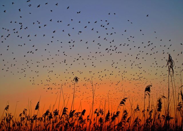 Starlings, sunset & reeds