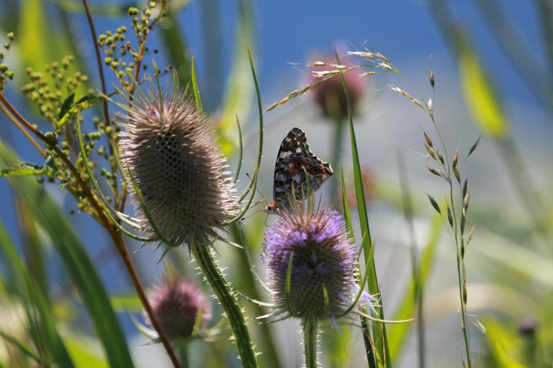 Teasel head and Painted Lady Butterfly