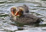 Young Coot Feeding