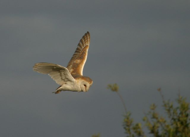 Barn Owl hunting