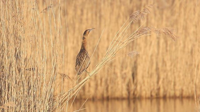 Bittern on reed