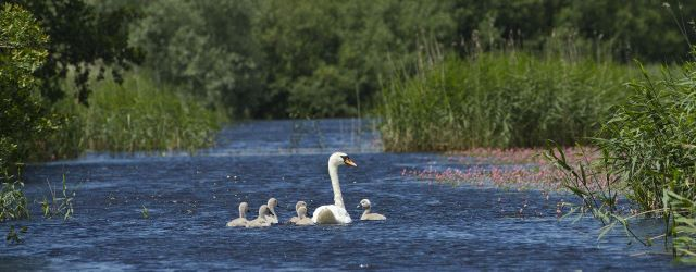 Mute swan and cygnets at Westhay